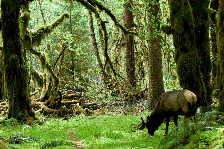 elk in hoh rainforest