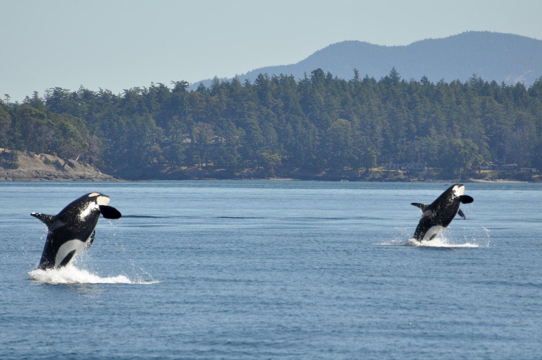 two orca whales breach at san juan islands