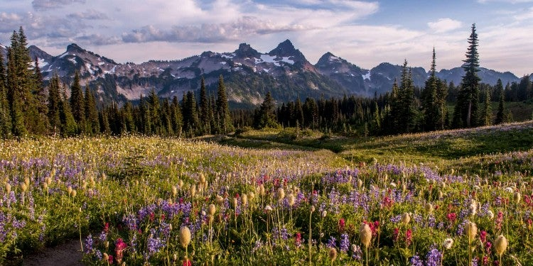 Wildflowers in the foreground beside hiking trail, mountain range in the background.