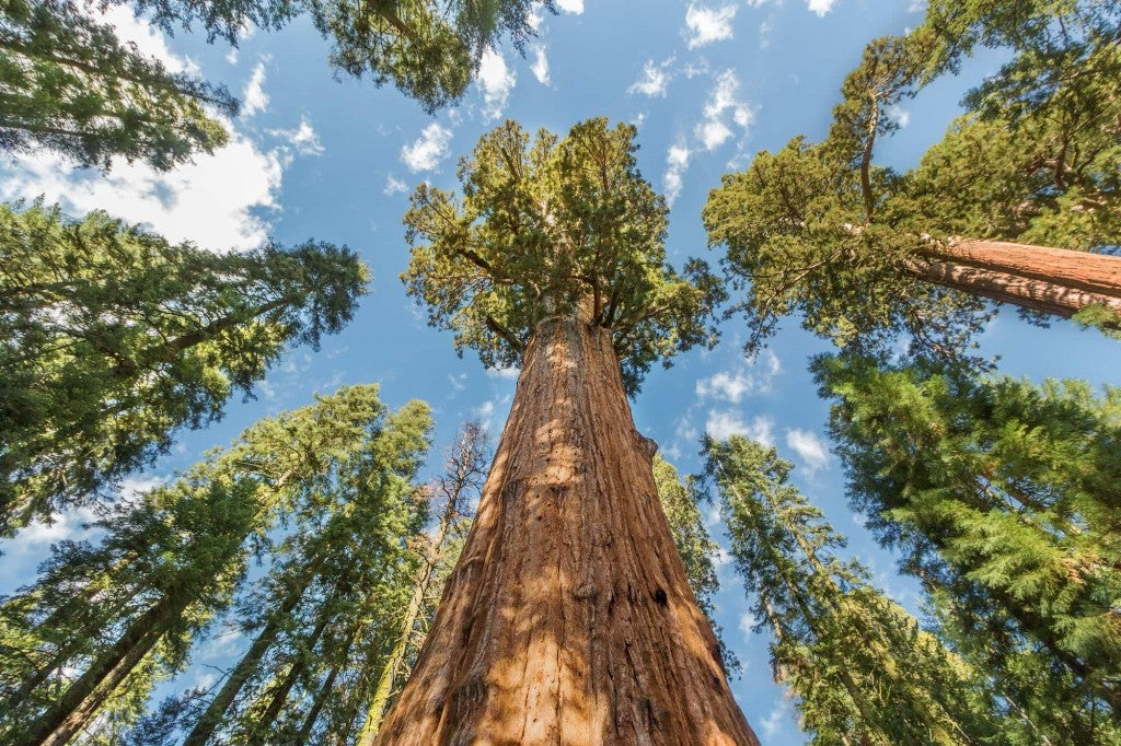 looking up at giant sequoias
