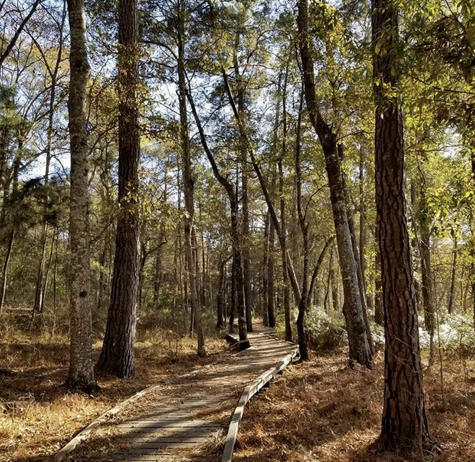 Wooden boardwalk winding through a wooded area.