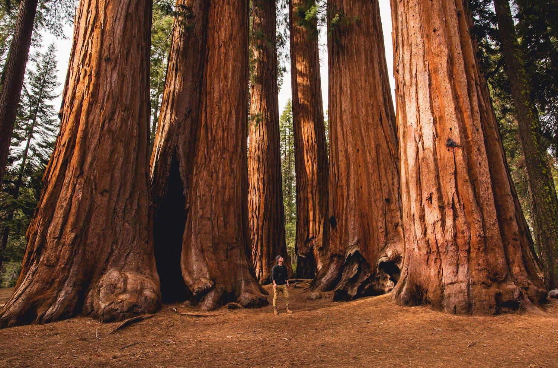 hiker amongst sequoias