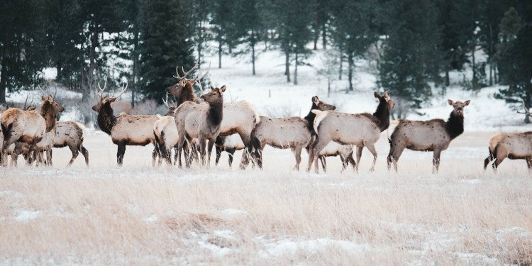 A herd of elk in a snowy landscape.