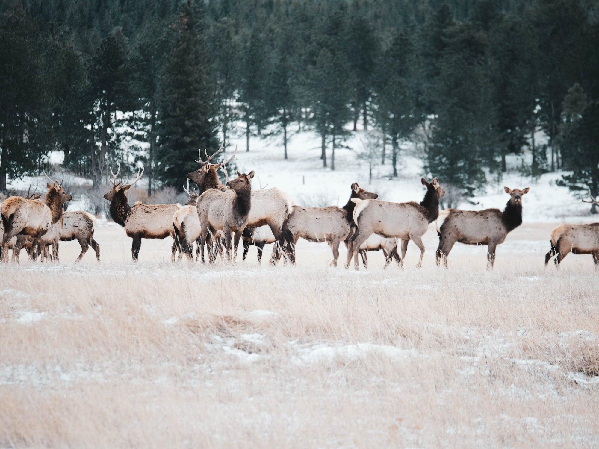 A herd of elk in a snowy landscape.