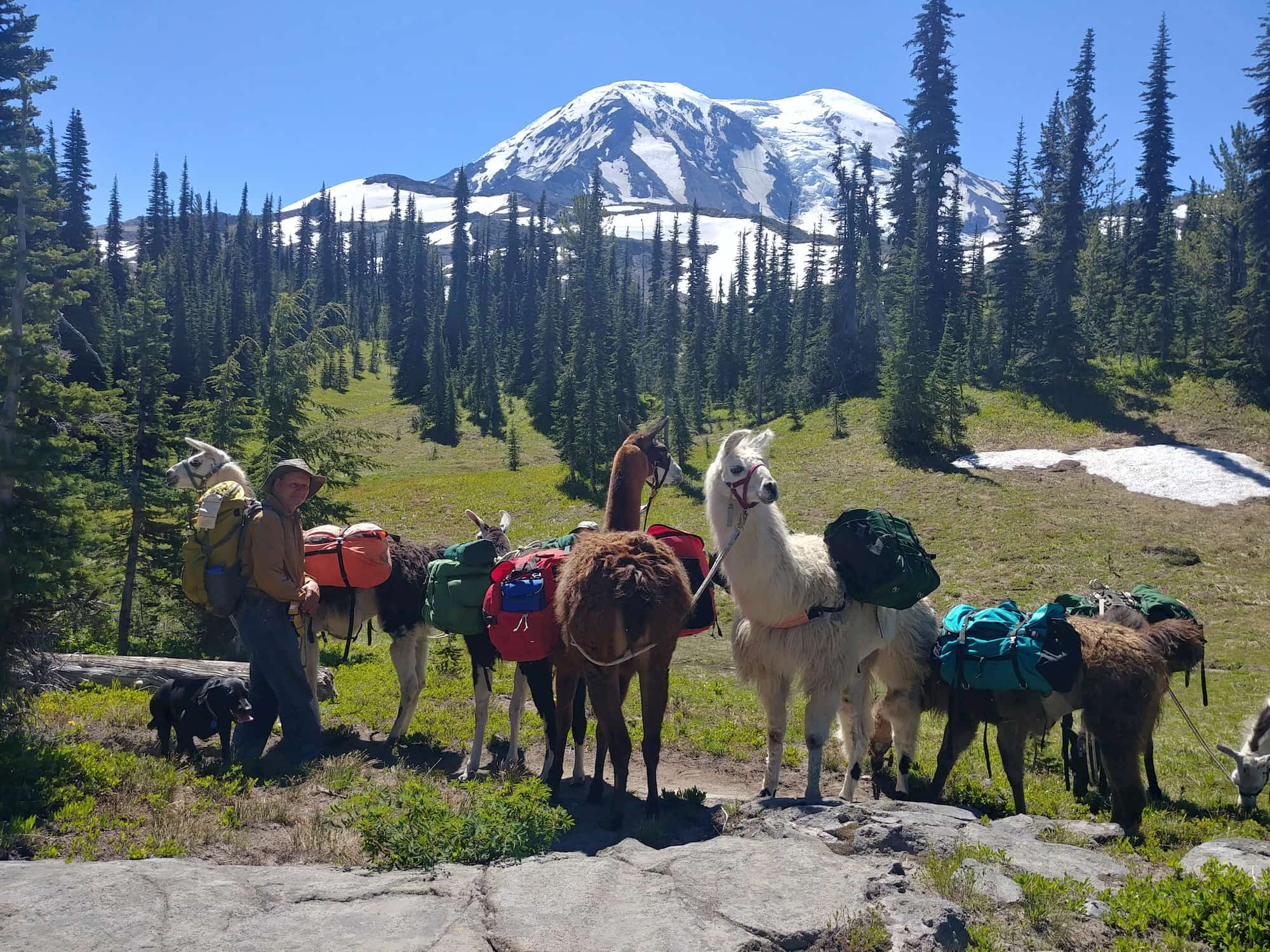 A group of pack llamas equipped with gear stand in a field below a snowcapped mountain.