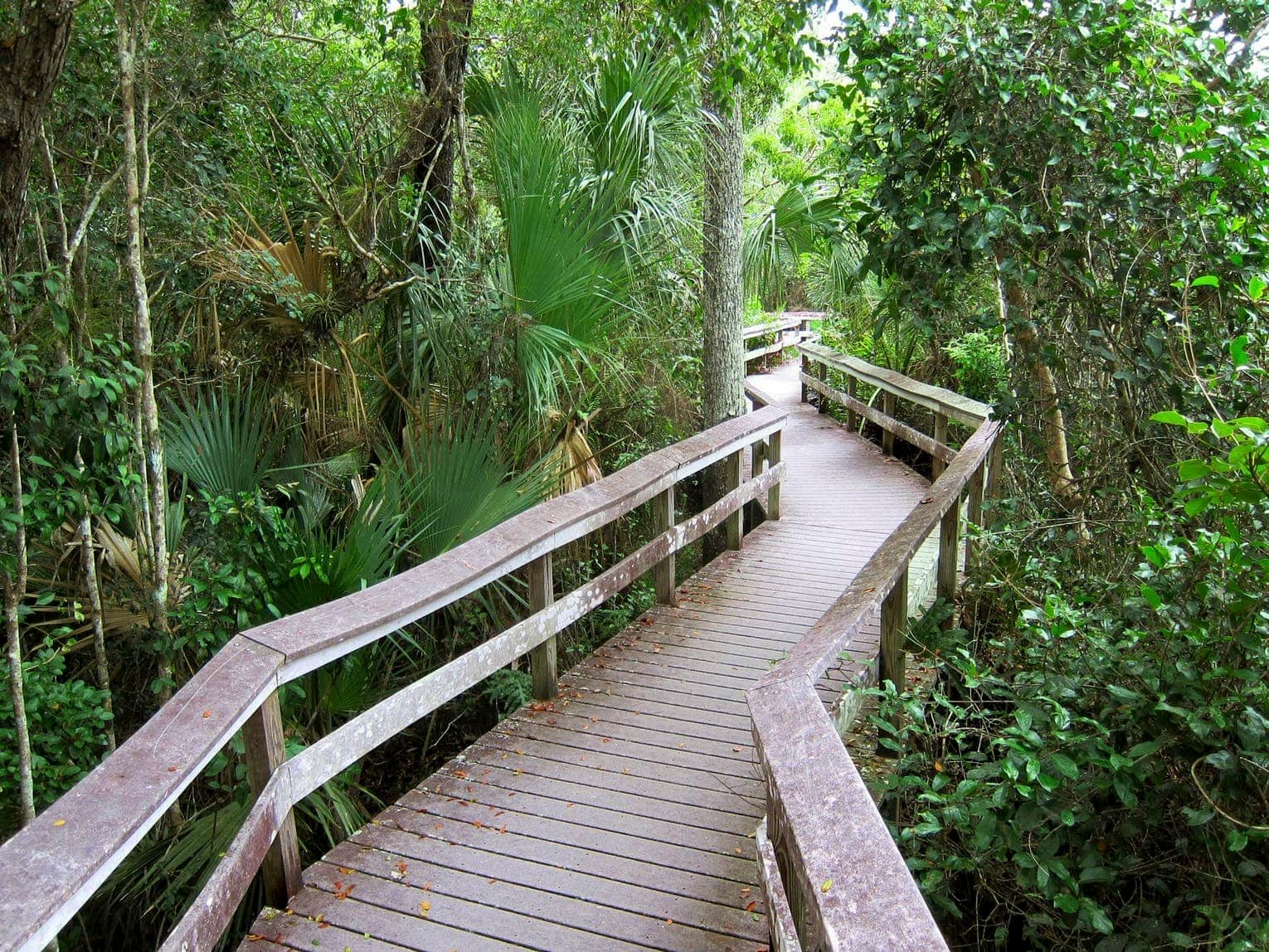 Wooden boardwalk weaving through thick forests with mangrove trees.