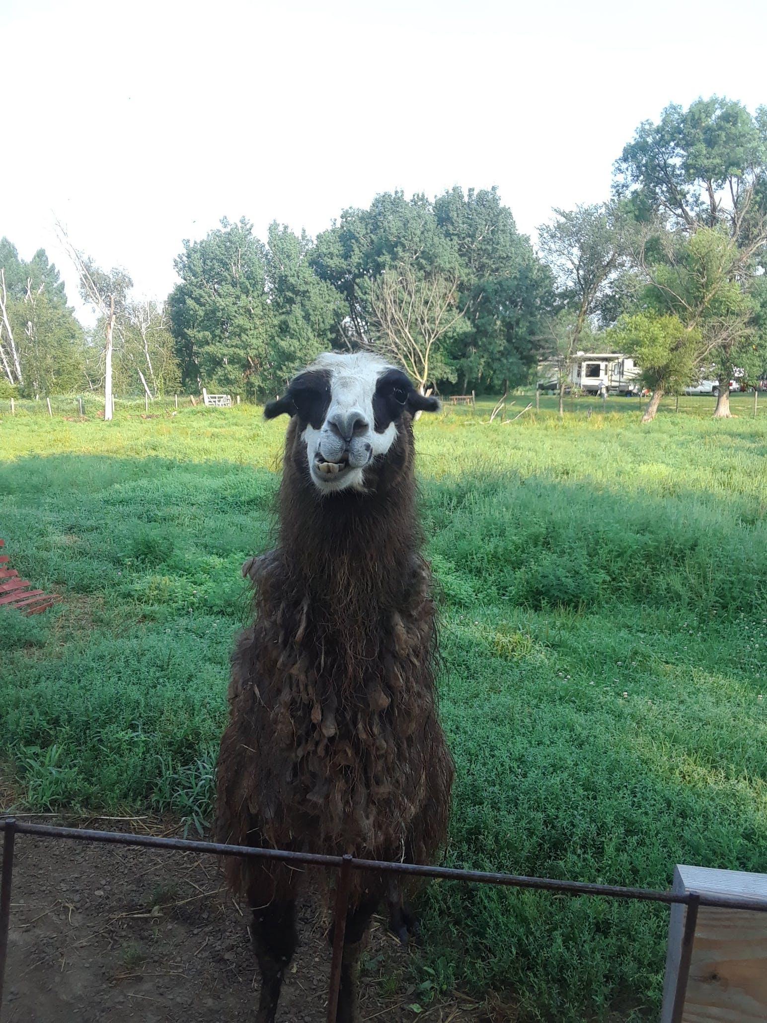llama in pasture