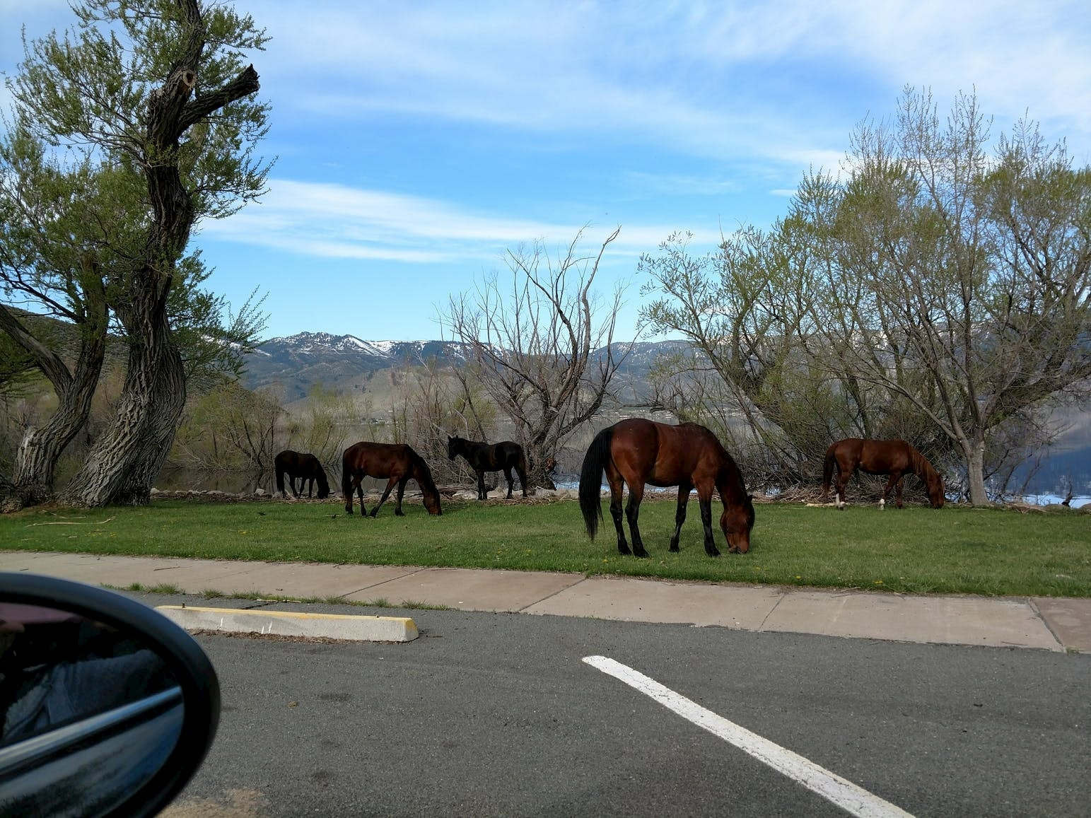 Wild mustangs grazing at Washoe Lake Campground.