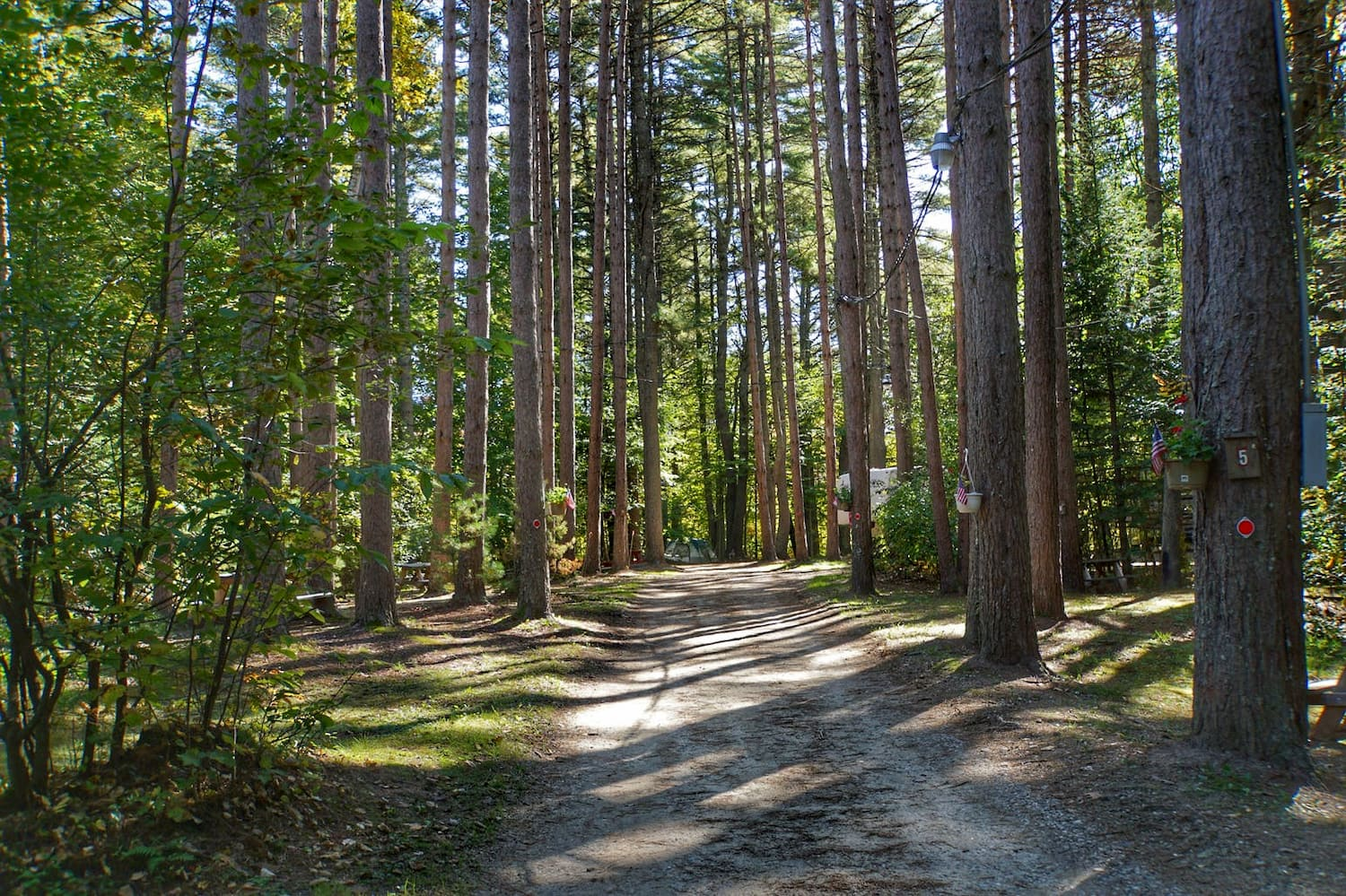 road to campsites through tons of pine trees
