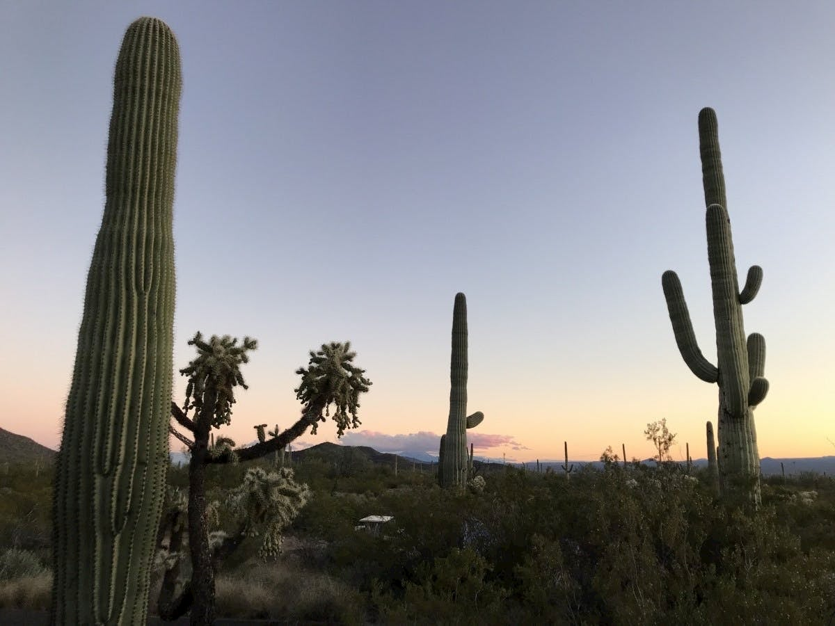 images of saguaros at sunset