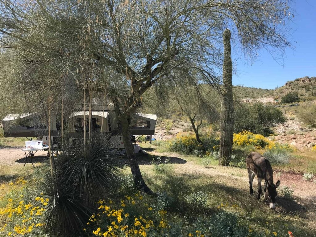 Donkey grazing in front of wildflowers and cacti and an RV at Lake Pleasant Campsite outside of Phoenix.