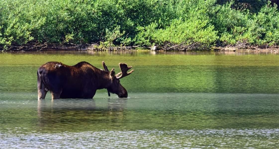 moose in river