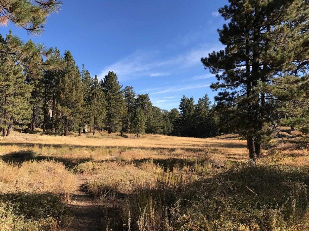 pine trees in dry field